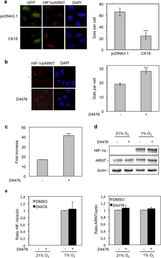Overexpression of CK1δ impairs and inhibition of CK1δ by D4476 increases formation of HIF-1α/ARNT complexes.(a) HeLa cells were co-transfected with pcDNA3.1 or pcDNA3.1-CK1δ and pEGFP plasmids. Twenty hours post-transfection cells were incubated under hypoxia (1% O2) for 4 h and HIF-1α/ARNT complexes were detected by in situ PLA. (b) Detection of HIF-1α/ARNT complexes, in the absence or presence of D4476 (10 μΜ) under hypoxia (1% O2) for 4 h, by in situ PLA. For (a) and (b): left panels: microscopical images. Right panels: quantification of results presenting the average number of nuclear dots per cell ± SEM (n = 50). (c) Determination of HIF-1 transcriptional activity in HeLa cells incubated for 16 h under normoxia or hypoxia (1% O2) in the absence or presence of D4476 (10 μΜ). Results are shown as fold increase in relation to the corresponding normoxic conditions and represent the mean of three independent experiments performed in triplicate ± SEM. (d) Western blot analysis of HeLa cells incubated for 4 h under normoxia or hypoxia (1% O2) in the absence or presence of D4476 (10 μΜ), for detection of HIF-1α and ARNT protein levels. (e) Histograms show the HIF-1α/actin (left) or ARNT/actin (right) protein levels ratio according to quantification of blots from three independent experiments performed as in (d).
