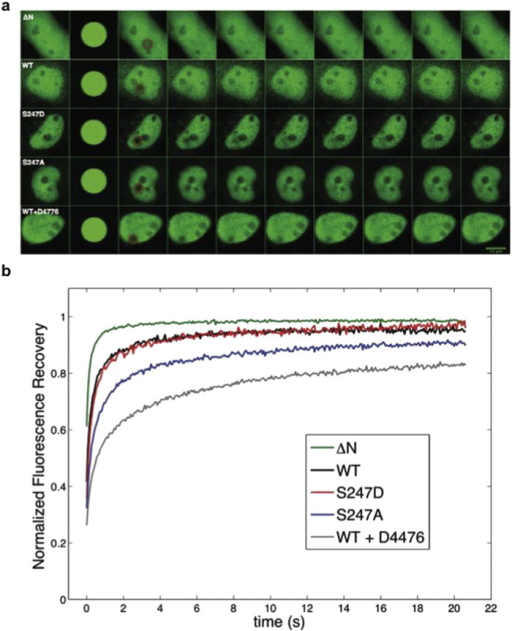 Phospho-site mutation S247A and inhibition of CK1δ by D4476 reduce nuclear mobility of HIF-1α in living cells.(a) Transfected HeLa cells overexpressing the indicating HIF-1α forms tagged with GFP were processed for FRAP analysis 24 h post-transfection. Representative time-lapse images of cells are shown for each GFP-tagged protein. Circles indicate the bleached region. (b) Analysis of FRAP recoveries. Curves represent the mean corrected fluorescence intensities over time for GFP-tagged HIF-1α-ΔΝ, wt HIF-1α, HIF-1α S247A, HIF-1α S247D and wt HIF-1α in the presence of D4476, as indicated.