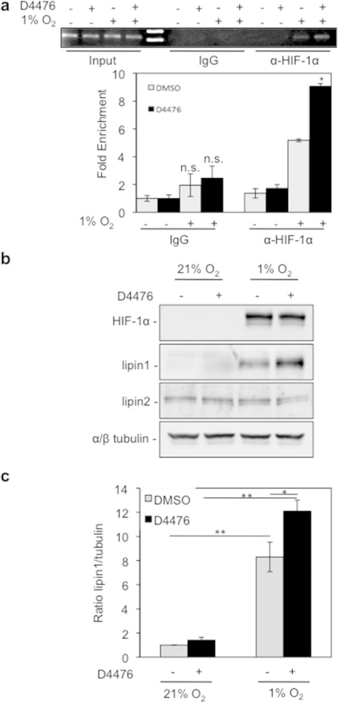 CK1δ inhibition stimulates lipin-1 expression under hypoxic conditions.(a) D4476 increases the interaction of HIF-1α with lipin1 promoter. Upper: gel electrophoresis of PCR products amplified from anti-HIF-1α or rabbit IgG chromatin immunoprecipitates of Huh7 cells, incubated for 8 h under normoxia or hypoxia (1% O2) in the absence or presence of D4476 (10 μΜ). Bottom: quantification of real-time PCR results. Data represent the mean (± SEM) of two independent experiments performed in triplicate. (b) Western blotting analysis of HeLa cells incubated for 24 h under normoxia or hypoxia (1% O2) in the absence or presence of D4476 (10 μΜ), for detection of HIF-1α and lipin protein levels. Tubulin was used as loading control. (c) Histogram shows the lipin-1/tubulin protein levels ratio according to quantification of blots from three independent experiments performed as in (b).
