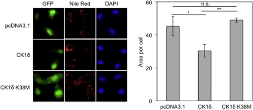 Overexpression of active CK1δ impairs lipid accumulation under hypoxic conditions.Left: HeLa cells were co-transfected with pcDNA3.1 or pcDNA3.1-CK1δ wt or pcDNA3.1-CK1δ K38M and pEGFP plasmids. Twenty four hours post-transfection cells were incubated for 24 h under hypoxia (1% O2), stained with Nile Red to visualize lipid droplets and observed by fluorescence microscope. Right: quantification was performed using ImageJ software and represent the mean area ± SEM of Nile Red staining of 50 cells.