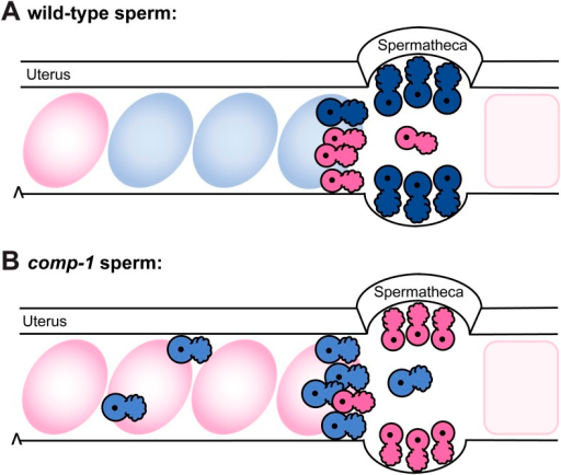 Model: comp-1 sperm have localization defects that result in failure to compete with wild-type sperm.(A) Wild-type male sperm (blue) migrate to the region of the spermathecae, where they displace hermaphrodite self sperm (pink) and preferentially fertilize oocytes. Oocytes fertilized by male sperm are shown in blue; oocytes fertilized by self sperm are shown in pink. (B) comp-1 mutant male sperm (light blue) migrate to the spermathecae, but remain outside while wild-type sperm (pink) are present, and are thus excluded from opportunities to fertilize oocytes. They also show delayed migration to the spermathecal region and increased localization in the periphery of the female reproductive tract.DOI:http://dx.doi.org/10.7554/eLife.05423.019