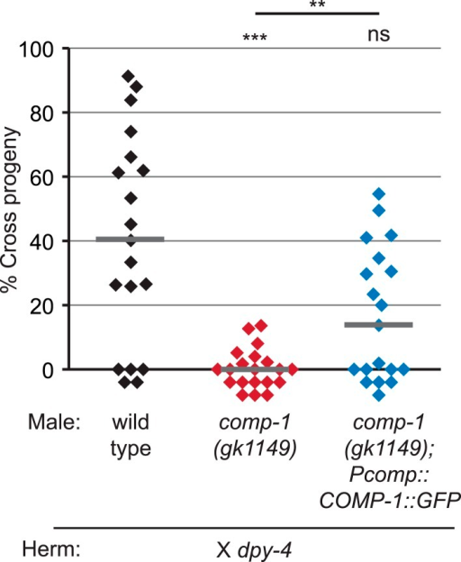 A COMP-1::GFP transgene rescues the male precedence defects of comp-1 mutants.Expression of COMP-1::GFP rescues the precedence defect. comp-1(gk1149); jnSi171[Pcomp-1::COMP-1::GFP] males have a wild-type precedence pattern in crosses to dpy-4 hermaphrodites. Precedence assays were performed as in Figure 1D. ***, p < 0.001; **, p < 0.01; ns, not significant (Kolmogorov–Smirnov test). Lines indicate medians. In addition to the indicated genotypes, control strains contained the transgene oxSi221[Peft-3 ::GFP].DOI:http://dx.doi.org/10.7554/eLife.05423.014