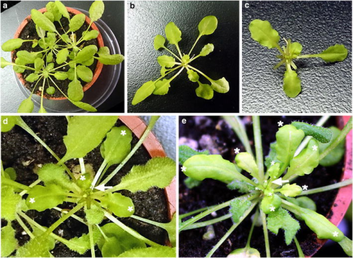 Arabidopsis pin-fasten grafting under short-day (SD) growth conditions. Forty-five-day-old SD-grown Arabidopsis wild-type (Col) and gl1-1 plants were used as stocks (a) and scions (b), respectively. cgl1-1 scions with mature leaves removed. dgl1-1 scions were pin-fastened to Col stocks. The glabrous leaves of scions are indicated by white asterisks. e Successfully grafted plant at 2 weeks after grafting. The newly developed glabrous leaves are indicated by white asterisks. The insect pins are indicated by white arrows.