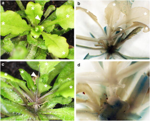 Differentiation of gl1-1 scions in successfully grafted P35S-GUS transformant stocks. a, c Arabidopsis pin-fasten grafted plants at 14 days after grafting under LD conditions. Arabidopsis gl1-1 scions were grafted onto P35S-GUS transformant stocks. Trichrome-less leaves were developed from gl1-1 scions (white asterisks) and trichrome-containing leaves were from P35S-GUS transformant stocks. Insect pins are indicated by arrowheads. b, d Histochemical staining of Arabidopsis gl1-1 scions grafted onto P35S-GUS transformant stocks at 14 days after grafting. GUS activity was detected in stocks but not scions.