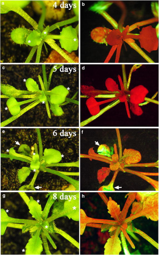 Development of symplastic connection between stocks and scions. Arabidopsis gl1-1 scions were grafted onto wild-type stocks under LD conditions. The 5(6)-carboxyfluorescein diacetate dye (green fluorescence) was introduced onto leaves (indicated by arrows) of wild-type stocks at different times after grafting. The images (left panels) and florescence images (right panels) were taken at 4 days (a, b), 5 days (c, d), 6 days (e, f), and 8 days (g, h) after grafting. Note green fluorescent signals (or yellow colors when merged with redflorescence) in the vasculature of gl1-1 scions at 6 or 8 days after grafting but not 4 or 5 days after grafting. The red colors in florescence images represents the auto-florescence of chlorophyll. The glabrous leaves of scions are indicated by white asterisks (left panels).