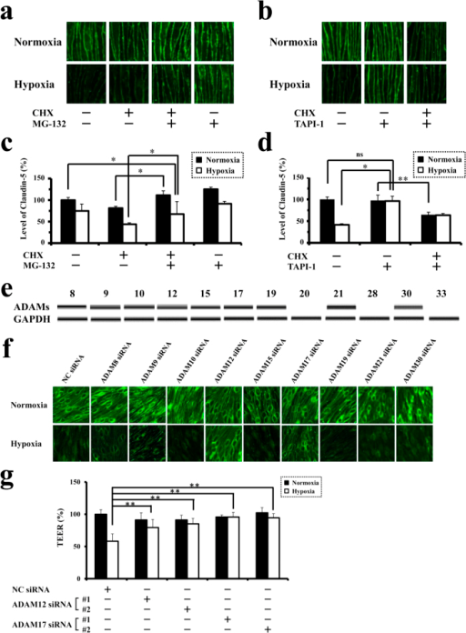 Involvement of ADAM12 and ADAM17 in hypoxia-induced disruption of neural vascular barrier.(a) Immunofluorescence images for claudin-5 expression in CHX-untreated or treated bEnd.3 monolayers in the presence or absence of MG-132. (b) Immunofluorescence images for claudin-5 expression in CHX-untreated or treated bEnd.3 monolayers in the presence or absence of TAPI-1. (c) Quantitative analysis of claudin-5 levels on cell membranes corresponding to the images in a. (d) Quantitative analysis of claudin-5 levels on cell membranes corresponding to the images in b. (e) RT-PCR for the expression of ADAM family members in bEnd.3 cells under normoxia. (f) Immunofluorescence images for claudin-5 of normoxic or hypoxic bEnd.3 monolayers pretreated with the siRNA specific for each member of ADAM family. Two kinds of siRNAs were designed to suppress the expression of each member, and the representative photographs are presented. Hypoxia-induced disappearance of claudin-5 from cell membranes is inhibited with the pretreatment of siRNAs for ADAM12 or ADAM17. (g) TEERs of bEnd.3 monolayers under normoxia or hypoxia after the induction of siRNAs for ADAM12 or ADAM17, showing that the suppression either ADAM12 or ADAM17 rescues bEnd.3 monolayers from the impairment of barrier properties under hypoxia. *P < 0.01; **P < 0.05; ns, not significant. NC siRNA; non-silencing siRNA for negative control.