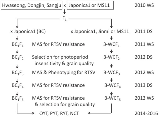 Breeding scheme for the development of Rice tungro spherical virus (RTSV)-resistant photoperiod-insensitive rice via selection for RTSV resistance and grain quality. RTSV-resistant varieties, Dongjin, Hwaseong, and Sangju were crossed with Japonica1 to produce F1. MS11 and Jinmi were used as the donor for photoperiod insensitivity. DS) dry season, WS) wet season, OYT) observatory yield trial, PYT) preliminary yield trial, RYT) replication yield trial.