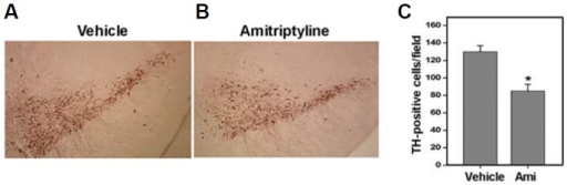 Subchronically injected amitriptyline induced TH-positive neuronal loss in the SNpc. To examine the in vivo effect of amitriptyline, mice were intraperitoneally injected with amitriptyline (20 mg/kg body weight) twice a week for 4 weeks. Brain tissue sections were prepared from the midbrain area of control vehicle- or amitriptyline-injected mice and immunostained using anti-TH antibodies. Representative immunohistochemistry photographs are shown in (A). (B) The number of TH-positive cells was counted from each SNpc area. At least ten sections from each mouse were counted (n = 5, *p < 0.5 vs. vehicle injected).