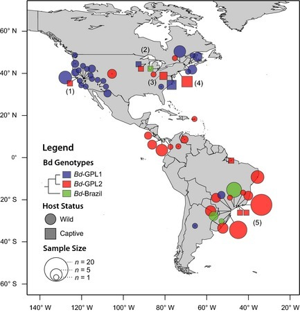 Distribution of Batrachochytrium dendrobatidis genotypes determined from multilocus sequence typing of cultured isolates. Bd clades are identified by color, and the captive status of the host amphibians is indicated by shape. The area of each shape represents the sample size of genotypes from each locality. Notable samples include the following: a captive an isolate of Bd‐GPL‐2 from Xenopus laevis imported to U.C. Berkeley, California (1), an isolate of a novel Bd‐Brazil strain from Lithobates catesbeianus in a Michigan market (2), captive isolates of GPL‐2 from the National Zoo, Washington, D.C. (3), and the Bronx Zoo and markets in New York City (4), and a region of high genetic heterogeneity in the Atlantic Forest of southeastern Brazil (5). Isolates are considered GPL‐1 if they are heterozygous or homozygous for diagnostic alleles at loci BdC24, R6046, or both. Data are compiled from published sources (Morgan et al. 2007; James et al. 2009; Schloegel et al. 2012; Velo‐Anton et al. 2012) and unpublished data.