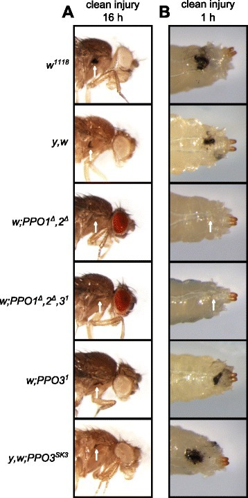 Both PPO1 and PPO2 but not PPO3 contribute to injury-related melanization in adults and larvae. Melanization of adults (a) and larvae (b) after clean injury is abolished only in the simultaneous absence of PPO1 and PPO2. A normal melanization spot was observed in the two PPO3 mutants. Arrows indicate the pricking site. Adults and larvae were wounded with a tungsten needle and blackening of the wound was recorded 1 h later in larvae and 16 h later in adults. A representative picture is shown for each genotype