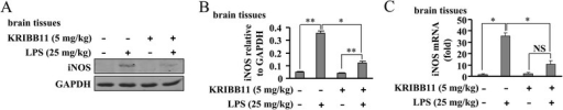 HSF1 inhibition reduces iNOS expression in brains from endotoxemic mice. Mice were divided into sham (saline + DMSO), endotoxemia (LPS 25 mg/kg + DMSO), KRIBB11 alone treatment (5 mg/kg), and LPS + KRIBB11 groups. Mice were sacrificed 20 h after injections and iNOS protein and mRNA levels were measured in brain tissues (a–c). As shown, KRIBB11 treatment significantly suppressed both iNOS protein (n = 3, *P < 0.05 vs. LPS alone-treated group; **P < 0.01 vs. control or KRIBB11 alone-treated group) and mRNA (n = 3, *P < 0.05 vs. control or LPS alone-treated group) expressions in brain tissues from endotoxemic mice. All data were shown as mean ± S.E. NS, no significance