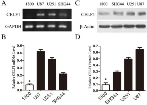 Expression of CELF1 mRNA level (AB) and protein level (CD) in three glioma cell lines (U87, U251 and SHG) and one normal astroglia cell line (1800) , GAPDH(AB) orβ-actin(CD) were used as loading controls.(*P < 0.05)