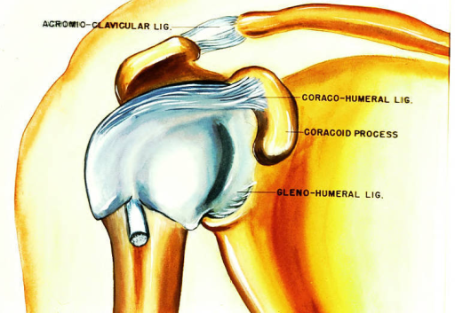 acromioclavicular ligament; coracohumeral ligament; coracoid process; glenohumeral ligament