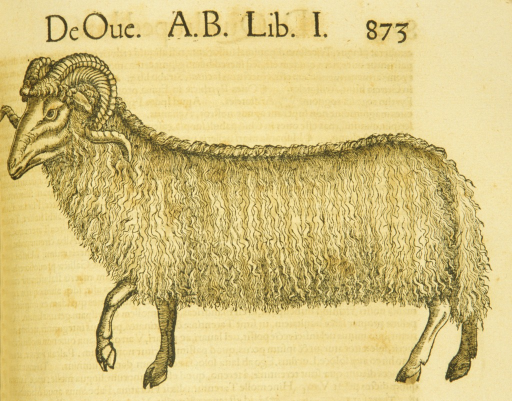 <p>Hand-colored woodcut of an Arabian sheep in profile.</p>