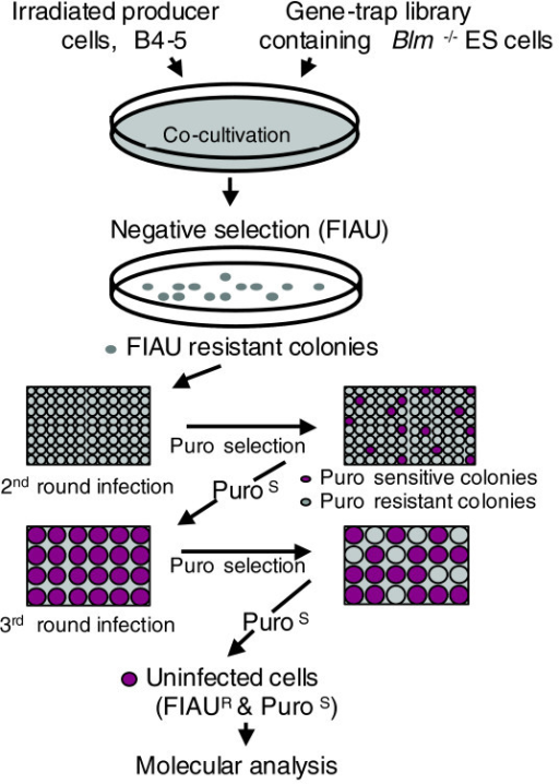 Negative selection screen for infection-resistant cells