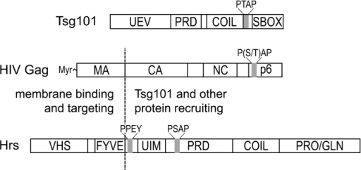 "Domain organization of the HIV-1 Gag and human Tsg101 and Hrs proteins. The HIV Gag and Hrs proteins are aligned to emphasize their similarities, with the NH2-terminal membrane-binding domains separated from the COOH-terminal protein–protein interaction domains by a vertical dashed line. UEV, ubiquitin E2 variant; PRD, proline-rich domain; COIL, putative coiled-coil; SBOX, ""steadiness box/Vps28 binding site"" (Feng et al., 2000). Locations of P(S/T)AP and PPEY motifs are also indicated."