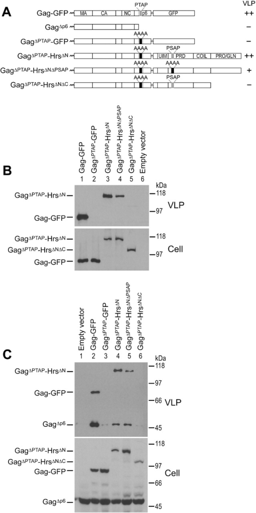 Hrs can substitute for late domain functions of HIV-1 Gag p6. (A) Summary of the Gag and Gag–Hrs fusion constructs and their VLP-budding phenotypes. (B) The HrsΔN polypeptide rescues the budding arrest caused by mutation of the Gag PTAP late domain. Top, Western blot analysis of VLP release by the Gag–GFP and Gag–Hrs proteins. Bottom, Western blot showing cytoplasmic expression of the Gag–GFP and Gag–Hrs fusion proteins. 293T cells were transfected with 0.5 μg plasmid encoding Gag–GFP (lane 1), GagΔPTAP–GFP (lane 2), GagΔPTAP–HrsΔN (lane 3), GagΔPTAP–HrsΔNΔPSAP (lane 4), GagΔPTAP–HrsΔNΔC (lane 5), or empty vector (lane 6). (C) Trans complementation of deficient GagΔp6 budding. Top, Western blot analyzing VLP release. Bottom, Western blot showing cytoplasmic expression of the different Gag constructs. Cells were cotransfected with 1.5 μg plasmid DNA encoding GagΔp6 and 0.5 μg empty vector (lane 1), Gag–GFP (lane 2), GagΔPTAP–GFP (lane 3), GagΔPTAP–HrsΔN (lane 4), GagΔPTAP–HrsΔNΔPSAP (lane 5), or GagΔPTAP–HrsΔNΔC (lane 6).