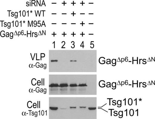Budding of GagΔp6–HrsΔN is dependent on the P(S/T)AP-binding activity of Tsg101. Top, Western blot showing relative levels of Gag–HrsΔN VLP release. Middle, Western blot showing cytoplasmic expression levels of Gag–HrsΔN. Bottom, Anti-Tsg101 Western blot showing depletion of endogenous Tsg101 protein with siRNA, and reexpression of exogenous, siRNA-resistant Tsg101-Flag proteins (Tsg101*). 293T cells were cotransfected as described in the Materials and methods with the following exceptions: (1) lane 1 received no RNA; and (2) lane 5 was a mock transfection.