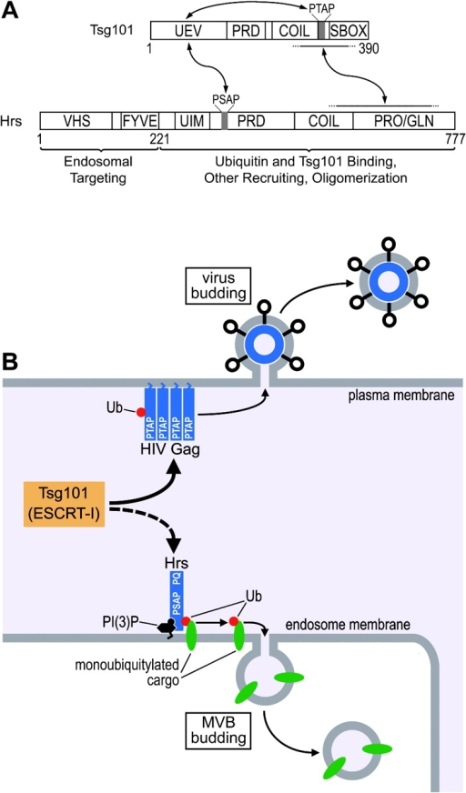 Models for Tsg101 recruitment and activation during MVB and HIV budding. (A) Model illustrating sites of Tsg101/Hrs interaction and a possible activation mechanism for Tsg101 (see text for details). Note that our data allow the possibility that other proteins might bridge or contribute to the interaction between the COOH-terminal regions of Tsg101 and Hrs. (B) Model illustrating how HIV Gag mimics the Tsg101-recruiting function of Hrs and redirects Tsg101 and the ESCRT-I complex to the plasma membrane to facilitate viral budding.