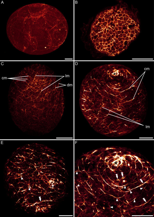 CLSM micrographs of F-actin labelling in embryonic S. roscoffensis. A+B. Cleavage stages prior to muscle formation. Actin is expressed in the zonulae adhaerentes. A. 5 hours after egg deposition. B. 33 hours after egg deposition. The embryo possesses approximately 370 cells. C. 48 hours after egg deposition. Myogenesis in the anterior pole, facing upwards, precedes the development of muscle fibres in the posterior pole. Circular (cm), longitudinal (lm) and diagonal muscles (dm) are present. D-F. From the third day after egg deposition onwards, the ventral (D) and dorsal (E) sides are distinguishable. The anterior pole (asterisk) is surrounded by a spiral muscle. Additional muscles are formed by branching off from existing muscles (arrowheads). In addition, double-stranded muscles (double arrowheads) are present. F. Ventral anterior half of (D) in higher magnification. Scale bars: 50 μm.