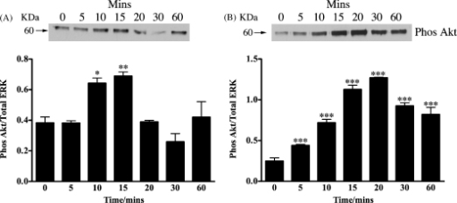 Serum starved Y1 cells were stimulated with either 1 nM of N-POMC1–28 (A) or N-POMC1–49 (B) for various times. Cell lysates were analyzed by immunoblotting with antibodies against phospho Akt. Band intensities are normalized to those of the total amount of p44 ERK and expressed as the mean (±S.E.M.) of three independent experiments. *p < 0.05, **p < 0.01, ***p < 0.001 relative to value at 0 min.