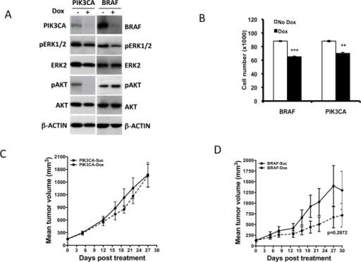Effect of BRAF and PIK3CA knock-down on KRASG13D mutant HCT116 cell growth.(A) Western blot analysis of PIK3CA or BRAF knock-down in HCT116 at 72 h post dox induction of relevant shRNAs. The effect of knock-down on the phosphorylation status of relevant downstream targets is shown. (B) Proliferation of BRAF and PIK3CA shRNA expressing cells 4 days post dox treatment. (C) shRNA targeting PIK3CA when induced in mice bearing HCT116 tumors did not delay tumor growth. (D) BRAF knock-down in HCT116 derived tumors shows a trend towards delayed tumor growth. Each data point is the mean±SEM tumor volume derived from 10 mice. Dotted line in (C, D) represents data from dox treated animals.