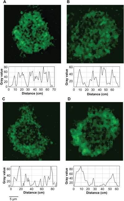 Quantitative analysis of the distribution of fluorescence intensity in representative cells. A) Control 1; B) Control 2; C) Macrophage–T-dendrimer hybrid; D) Macrophage–S-dendrimer hybrid. The treatment conditions are detailed in Figure 6.Notes: Original magnification, ×630.