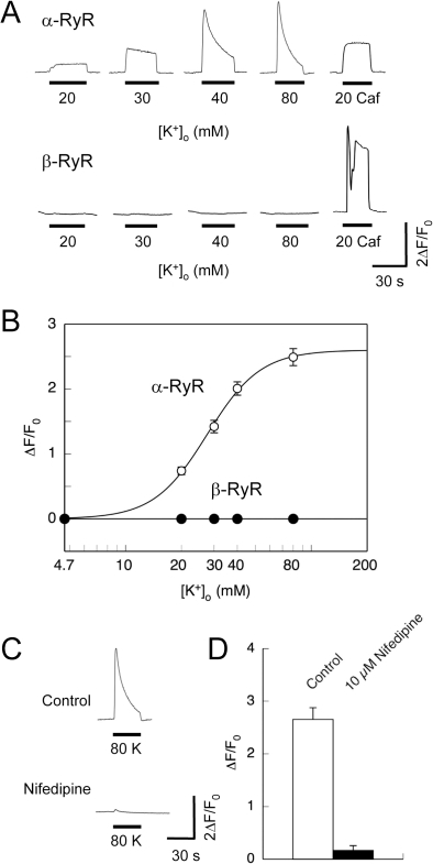 Depolarization-induced Ca2+ release.Intracellular Ca2+ ([Ca2+]i) of 1B5 myotubes transduced with either α-RyR or β-RyR virions was imaged using fluo-4 as described in Materials and Methods. Cells were exposed for 30 sec to varied high [K+]o solutions (with the constant [K+]×[Cl−] product) to trigger DICR, and finally to 20 mM caffeine to confirm the functional expression of RyR. Ca2+ in the bath solution was omitted prior to and during stimuli to prevent Ca2+ influx. A. Representative traces of Ca2+ transients of individual cells by [K+]o and caffeine. B. Averaged maximal change in fluo-4 fluorescence (ΔF/F0) was plotted against [K+]o concentration. Values are expressed as mean ± SE (n = 112 for α-RyR and 18 for β-RyR). α-RyR but not β-RyR exhibited Ca2+ transients induced by high [K+]o. C. A representative trace of Ca2+ transients of myotubes expressing α-RyR stimulated with 80 mM [K+]o before and after treatment with 10 µM nifedipine. D. Averaged maximal change in fluo-4 fluorescence (ΔF/F0) was plotted with or without 10 µM nifedipine. Values are expressed as mean ± SE (n = 15). Nifedipine inhibited high [K+]o-induced Ca2+ transients.