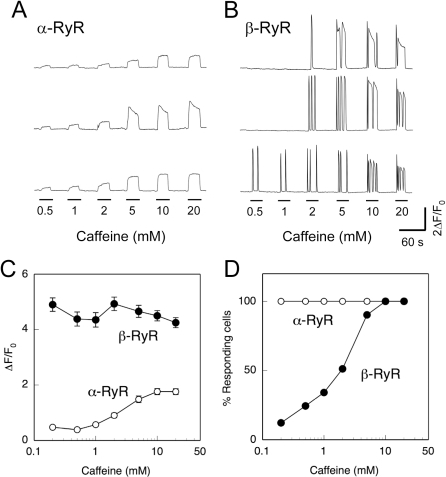 Caffeine-induced Ca2+ release.A, B. Myotubes expressing α-RyR (A) or β-RyR (B) were stimulated by varied concentrations (0.2–20 mM) of caffeine. Traces of three representative cells are shown. Sustained Ca2+ transients with no or only slight decline were observed with myotubes expressing α-RyR, whereas Ca2+ oscillations with rapid rise and fall phases were seen with myotubes expressing β-RyR. C. Average maximal changes in fluo-4 fluorescence (ΔF/F0) of responding cells plotted against caffeine concentration (mean ± SE, n = 34 and 41 for α-RyR and β-RyR, respectively). Open circles, α-RyR; filled circles, β-RyR. In cells expressing α-RyR, Ca2+ transient amplitudes increased with increasing caffeine concentrations, whereas the responses in cells expressing β-RyR after reaching threshold were independent of caffeine concentration. D. % myotubes responding to each caffeine concentration. Open circles, α-RyR (n = 34); filled circles, β-RyR (n = 41). All the myotubes expressing α-RyR responded to caffeine with graded magnitude, whereas β-RyR myotubes showed all-or-none responses with increasing fractions of responding cells as the caffeine concentration increased.