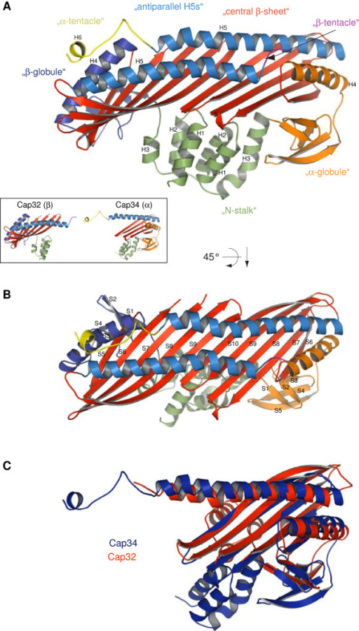 Crystal structure of Dictyostelium discoideum Cap32/34. A) Ribbon presentation of Cap32/34. The structural motifs are shown in different colours. For clarity and comparability we used the same motif and colour scheme as in [30]. The helices are numbered from the N- to the C-terminus. B) Top view of the structure highlighting the β-strands. Compared to CapZ, one more β-strand could be assigned to both the α-globule and the β-globule region. C) Superposition of Cap32 (red) and Cap34 (blue). While the globule regions are markedly similar, the N-stalk regions point to different directions demonstrating the pseudo 2-fold symmetry of the CP.