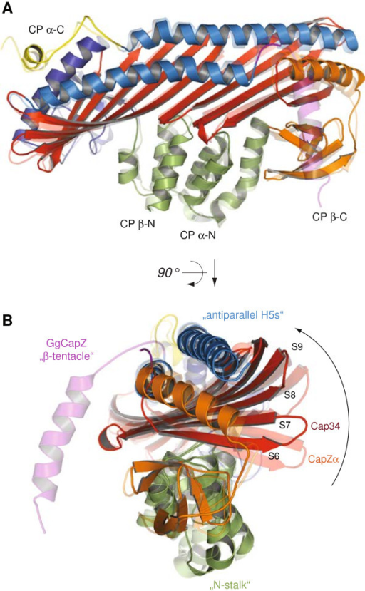 Structural conservation and conformational flexibility within cytoplasmic and muscle-specific CP. Orthogonal views of Cap32/34 superposed onto CapZ over the Cα positions of the entire CP molecules. Structural motifs are coloured as in Figure 1. To facilitate orientation some domains and structural elements are indicated.