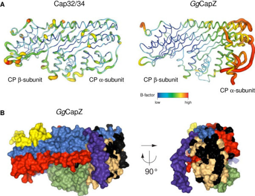Putative binding site for Z-disc proteins.A) Coil representation of Cap32/34 and chicken CapZ illustrating the B-factor distribution of the Cα atoms. B) Surface presentation of chicken CapZ with structural motifs defined and coloured as in Figure 1. Residues that are different between the α-subunit isoforms Capα1 and Capα2 are highlighted in black. These residues cluster in the same part of the α-globule that shows increased B-factors in the chicken CapZ structure.