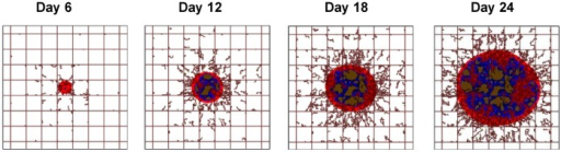 The progressive development of the malignant mass is depicted at four different time points, namely 6, 12, 18 and 24 days post tumor inception.Three characteristic tumor regions can be identified as the viable (red), hypoxic (blue), and necrotic (brown) tissue. Pre-existing vessels (straight brown lines) are laid out in a regular grid, maintaining normoxic conditions in the surrounding tissue. New vessels (irregular brown lines) are sprouting from the pre-existing vasculature in response to a net balance of pro-angiogenic factors released by hypoxic cells in the interior of the tumor. Field of view is 2×2 mm.