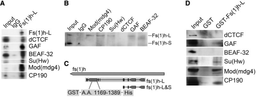 Fs(1)h-L interacts with insulator proteins. (A) Co-IP experiments with a protein lysate from Kc167 cells (Input) were performed using either IgG (control) or antibody against Fs(1)h-L (guinea pig). Western analysis was performed on all samples using antibodies designated on the right side of the panel at 1:10 volume of input to IP. (B) Co-IP experiments were performed as described earlier in the text with only one immunoprecipitation from the lysate using antibodies against each of the indicated insulator proteins followed by western blotting with Fs(1)h antibodies that recognize both isoforms. (C) Organization of the Fs(1)h locus. Amino acids 1169 through 1389 were placed in an expression vector with a GST tag at the N-terminus and Hisx6 tag at the C-terminus for expression in E. coli followed by purification to 1.3 µg/µl using the Hisx6 and GST tags. (D) The Fs(1)h-L specific peptide was incubated with a Kc cell protein lysate, precipitated with glutathione-agarose beads and analyzed by western blot to test for interaction with each of the insulator proteins. Results suggest that GAF, Su(Hw), CP190 and Mod(mdg4) interact, directly or indirectly, with the CTM domain of Fs(1)h-L.