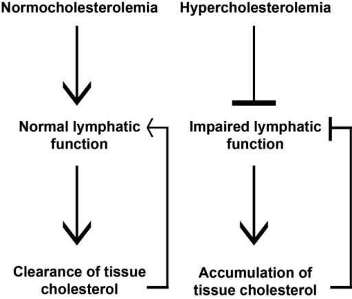 Lymphatic vessels are important for peripheral lipid clearance. Under normocholesterolemic conditions, functional lymphatic vessels regulate cholesterol transport from extra-hepatic tissues by contributing to RCT. Hypercholesterolemic conditions results in dysfunctional lymphatic vessels, which in turn can cause further cholesterol accumulation in tissues.
