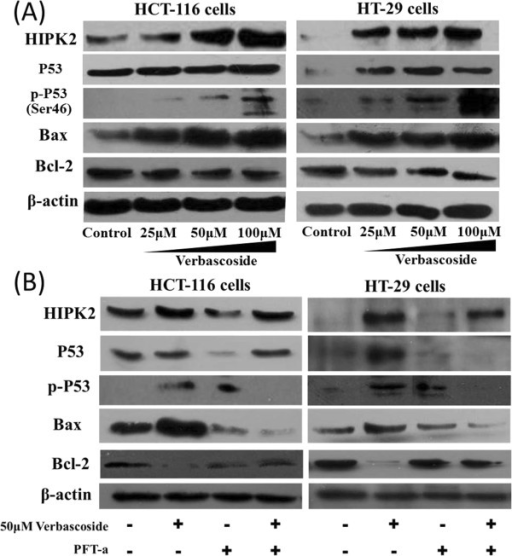 Verbascoside (VB) alters levels of HIPK2–p53apoptosis signaling molecules in CRC cells. HCT-116 and HT-29 cells treated with VB extracts were probed for HIPK2, p53, p-p53, Bax, and Bcl-2 protein (A), and were compared with cells treated with both VB extracts and PFT-a (B).