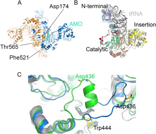 Structure of M. smegmatis AspS.A) Dimer of Ms-AspS in ribbon representation (colored by monomer) with resistance-conferring mutation sites indicated in yellow spheres. The binding site of aspartyl adenylate (AMO, spheres in cyan) is derived from the secondary structure-matched superposition with the structure of E. coli AspRS (PDB entry 1C0A, [61]). B) Superposition of the Ms-AspS monomer with the tRNA-bound structure E. coli AspRS (grey ribbon, PDB entry 1C0A). C) Detail of the superposition of Ms-AspS (blue ribbon), PDB entry 4O2D (green ribbon) of the same protein and E. coli AspRS (grey ribbon), focusing on the flexible loop spanning residues 427 to 444. To illustrate the variable conformation of the loop, sticks indicate the spatial positions of Trp444 and Asp436.