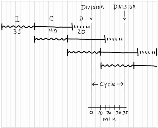 Construction of a chromosomal replication pattern during the bacterial division cycle. The construction, starting at the top left, is based on the (I + C + D) rule with I = 35 min, C = 40 min, and D = 20 min.