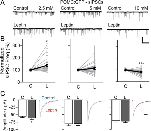 Two distinct effects of leptin on sIPSCsA) Representative recording traces showing sIPSCs recorded from POMC neurons at different glucose levels. Addition of leptin (100 nM) robustly increased sIPSC frequency at 2.5 mM glucose, whereas leptin had an inhibitory effect on sIPSCs at 10 mM glucose. HP = −70 mV. Scale bar: 100 pA, 10 s.B) Graphs showing normalized frequency of sIPSCs from individual POMC neurons before and after treatment with leptin (100 nM) at different glucose levels (Bold line: total mean change in sIPSC frequency; 2.5 mM, n = 19 neurons; 5 mM, n = 27 neurons; 10 mM, n = 26 neurons). C: control, L: leptinC) Pooled data showing sIPSC amplitude. Superimposition of traces of sIPSCs before (blue) and after (red) application of leptin. Leptin increased the mean amplitude of sIPSCs at 2.5 mM glucose (2.5 mM: n = 19 neurons; 5 mM: n = 27 neurons; 10 mM: n = 26 neurons). Scale bar: 20 pA, 20 ms.*p < 0.05, ***p < 0.001 vs. control (paired t-test). All data are shown as mean ± SEM.