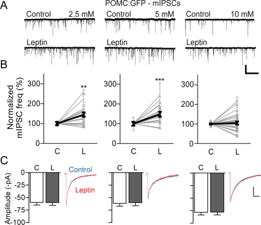 Two distinct effects of leptin on mIPSCsA) Representative recording traces showing mIPSCs recorded from POMC neurons in the presence of TTX (1 µM). Treatment with leptin (100 nM) increased mIPSC frequency in a subset of POMC neurons at 2.5, 5 and 10 mM glucose. HP = −70mV. Scale bar: 100 pA, 10 s.B) Graphs showing normalized frequency of mIPSCs from individual POMC neurons before and after treatment with leptin (Bold line: total mean change in mIPSC frequency; 2.5 mM, n = 20 neurons; 5 mM, n = 21 neurons; 10 mM, n = 31 neurons). C: control, L: leptinC) Pooled data showing mIPSC amplitude. Both superimposition of traces of sIPSCs before (blue) and after (red) application of leptin. Leptin did not change the mean amplitude of mIPSCs (2.5 mM: n=20 neurons; 5 mM: n=21 neurons; 10 mM: n = 31 neurons). Scale bar: 20 pA, 20 ms.**p < 0.01, ***p < 0.001 vs. control (paired t-test). All data are shown as mean ± SEM.
