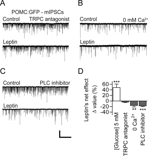 TRPC channels mediate leptin's stimulatory effectA) Representative recording samples showing mIPSCs recorded from POMC neurons in the presence of the TRPC channel blocker 2-APB. Leptin no longer modulated mIPSCs under these conditions. HP = −70mV.B) Sample traces showing mIPSCs recorded from POMC neurons following treatment with leptin in the absence of extracellular calcium. Leptin still reduced mIPSC frequency without extracellular calcium.C) Representative recording samples showing mIPSCs recorded from POMC neurons in the presence of the PLC inhibitor U73122. Pharmacological blockade of PLC signaling abolished leptin's stimulatory effect. Under these conditions, leptin remained effective in reducing GABA release. Scale bar: 100 pA, 10 s.D) Summary plot showing leptin's effect on mIPSC frequency following blockade of TRPC channel signaling (2-APB: n = 9 neurons; 0 calcium: n = 13 neurons; U73122: n = 10 neurons).**p < 0.01, ***p < 0.001 vs. control (paired t-test). All data are shown as mean ± SEM.