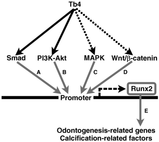 Schematic illustration of the putative signaling pathways from thymosin beta 4 (Tb4) to runt-related transcription factor 2 (RUNX2) in the mDE6 cells. Several signaling pathways through Smad, PI3K-Akt, MAPK and/or Wnt/β-catenin have been reported to be upstream of RUNX2 expression. The results of this study suggest that Smad and PI3K-Akt may participate in Tb4-RUNX2 signaling pathway(s) in the mDE6 cells. Tb4 may increase RUNX2 expression to induce the expression of odontogenesis-related genes in the mDE6 cells. The black arrows indicate putative Tb4-RUNX2 signaling pathways revealed in this study, while the dotted arrows indicate possible Tb4-RUNX2 signaling pathways that were not supported in this study. The gray arrows indicate signaling pathways reported in previous studies [(A) (34,42); (B) (34,43); (C) (34,44); (D) 34,45; (E) (9,17,19,29–31)]. RUNX2 can upregulate the expression of downstream biological effectors, including odontogenesis-related genes and calcification-related factors.