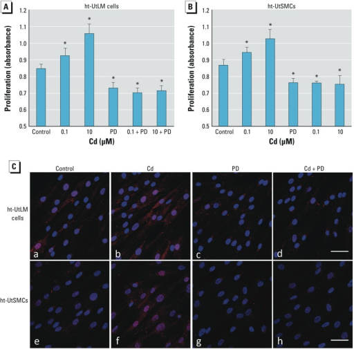 Effect of PD98059 (PD) on Cd-induced cell proliferation and p44/42 MAPK phosphorylation. Cell proliferation was evaluated in ht-UtLM cells (A) and ht-UtSMCs (B) treated with vehicle (control), Cd (0.1 μM or 10 μM), with 10 μM PD98059 (PD) alone, or Cd in combination with 10 μM PD for 72 hr. The experiments were repeated three times with independent cultures. Absorbance values were determined at a 490 nm wavelength. Data are presented as mean + SE (n = 6). (C) Confocal images of ht-UtLM cells (a,b,c,d) and ht-UtSMCs (e,f,g,h) treated with vehicle (control; a,e), 10 μM Cd (b,f), PD (50 μM; c,g), or Cd plus PD (d,h) for 10 min. Red indicates phospho-p44/42 MAPK, and blue indicates DAPI staining; bar = 50 μm.*p < 0.05 compared with control.