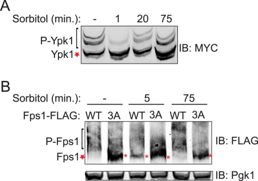 Hyperosmotic shock induced loss of Ypk1 and Fps1 phosphorylation is transient.(A) Wild-type (BY4741) cells expressing Ypk17A-myc (pFR252) were grown at 30°C to mid-exponential phase then diluted into fresh YPD in the absence (−) and presence (+) of 1 M sorbitol (final concentration) for the indicated time periods. Extracts were prepared, resolved and blotted as described in 'Materials and methods'. (B) Fps1-3xFLAG (yGT21) or Fps13A-3xFLAG (yGT22) expressing cells were treated with 1 M sorbitol for indicated time points and Fps1-3xFLAG was resolved and analyzed as in Figure 1B.DOI:http://dx.doi.org/10.7554/eLife.09336.007