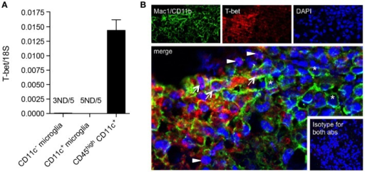 T-bet is expressed by infiltrating BMDM/DC but not by microglia in EAE. (A) Expression of T-bet in sorted myeloid cells (CD11c+ microglia, CD11c− microglia, and CD45highCD11c+) from the central nervous system from mice with severe EAE was analyzed by quantitative real-time PCR. Data are presented as means ± SEM of three individual experiments (n ≥ 5, where n represents a pool of 2–3 individual mice). ND, not detected. (B) Representative confocal microscopic analysis of spinal cord from mice with severe EAE for four individual experiments. Arrowheads point to T-bet (red) single positive cells, asterisks point to Mac1/CD11b (green) single positive cells, and arrows point to cells co-expressing T-bet marker with Mac1/CD11b.