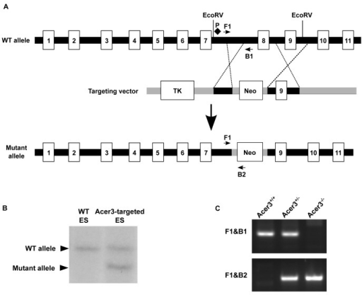 Generation of Acer3  mouse.A. Acer3 targeting strategy. The Acer3 gene consists of 11 exons (empty rectangles with the numerals inside). Exon 8 of the Acer3 gene was replaced by the Neo resistant gene cassette upon homologous recombination. B. Southern blot analyses of WT ES cells or ES cells from an Acer3-targeted ES clone. Genomic DNA was digested with EcoRV, resolved on a 0.8% agarose gel, transferred to a nitrocellulose membrane, which was labeled with a radioactive probe (P) corresponding to the region upstream of Exon 8 as shown in Panel A. C. PCR-based genotyping of Acer3+/+, Acer3+/-, and Acer3-/- mice. DNA was isolated from mouse tail biopsies and subjected to PCR analyses using the PCR primer pairs (F1 and B1 or F1 and B2) as shown in Panel A. The image in C represents the PCR product patterns of the three genotypes, Acer3+/+, Acer3+/-, and Acer3-/-.