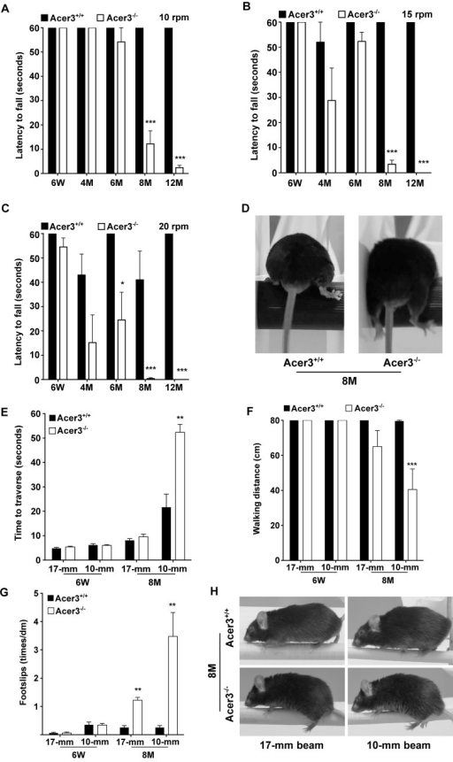 Acer3 knockout impairs motor coordination and balance capabilities in mice.A-D. Rotarod tests for motor coordination. Acer3+/+ and Acer3-/- mice at 6W, 4M, 6M, 8M, or 12M of age were subjected to rotarod tests under 3 task difficulties—10, 15, and 20 rpm, respectively. Hindlimb step patterns in a representative Acer3+/+ and Acer3-/- mouse at 8M of age at 20 rpm are displayed in D. Note that the hindpaws of Acer3-/- mice, but not those of Acer3+/+ mice slipped off the rod. E-H. Beam walking tests for motor coordination and balance capabilities. Acer3+/+ and Acer3-/- mice at 6W or 8M of age were subjected to beam walking tests under two task difficulties. The average of three trials were quantitatively analyzed for time to traverse the beam (E), walking distance (F), and foot-slips of hindpaws (G). Patterns of hindpaw contacting the beam during walking in a representative 8-month-old Acer3+/+ and Acer3-/- mouse are displayed in H. Note the foot-slips for both beam walking conditions in the Acer3-/- mouse. The data in A, B, C, E, F, and G represent mean values ± SD, n = 5–8. n.s., not significant.