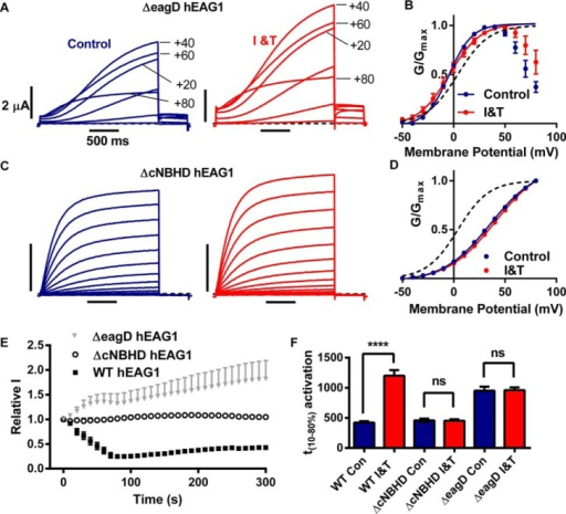 eagD and cNBHD are both required for Ca2+-CaM-dependent hEAG1 current inhibition.A and C, representative traces of ΔeagD hEAG1 (A) and ΔcNBHD hEAG1 (C) currents elicited by I-V protocols before (left panels) and during I and T (I&T) (right panels) application for >300 s. ΔeagD hEAG1currents exhibited rectification. For clarity, only selected traces, elicited by voltage steps +20 mV apart, are shown. B and D, mean (± S.E.) conductance-voltage relationships for ΔeagD hEAG1 (B, n = 5) and ΔcNBHD hEAG1 (D, n = 7) currents before (blue symbols) and during I and T application (red symbols), fitted with Boltzmann functions (solid lines). The voltage dependence of activation for WT hEAG1 in control solution is shown for comparison (black dashed line). E, mean (± S.E.) normalized current amplitudes (see Fig. 3D for details) for Δ2–135 hEAG1 (n = 6) and ΔcNBHD hEAG1 (n = 7) plotted against time after switching to I and T. The time course of WT hEAG1 (n = 21) is shown for comparison. F, time between 10 and 80% activation (t10–80%) at +60 mV in the presence (red) or absence (blue) of elevated Ca2+i values for WT (n = 8), ΔcNBHD hEAG1 (n = 7), and ΔeagD hEAG1 (n = 5). ****, p < 0.0001. ns, p > 0.05.