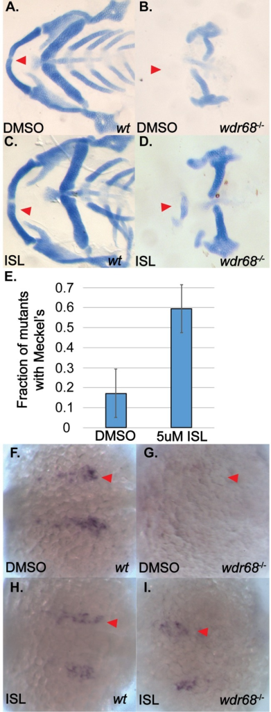 ISL treatment partially rescues M cartilage and edn1 expression in wdr68hi3812/hi3812 zebrafish.(A-D) Flatmounts of 5dpf ventral cartilages of Alcian stained zebrafish raised at 32°C and treated with DMSO or 5μM ISL starting at the 14- to 15-somites stage. A) Wildtype zebrafish treated with DMSO control. Red arrow indicate M. B) wdr68hi3812/hi3812 mutants treated with DMSO control show a lack of M cartilage. C) Wildtype zebrafish treated with 5μM ISL show normal craniofacial cartilage formation. D) wdr68hi3812/hi3812 mutants treated with 5μM ISL show a partial rescue of M. E) Fraction of mutant embryos with partial M is significantly greater in the ISL treated group (p<0.006). (F-I) Dorsal views of edn1 ISH analysis on 20-somites stage embryos treated with DMSO or 5μM ISL starting at the 14- to 15-somites stage. F) Wildtype embryos treated with DMSO control. G) wdr68hi3812/hi3812 mutants treated with DMSO control show lack of edn1 expression. H) Wildtype embryos treated with ISL show similar expression compared to wild type. I) wdr68hi3812/hi3812 mutants treated with ISL are indistinguishable from that of wildtype.