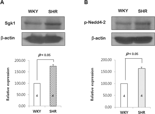 Expression of Sgk1 and phosphorylation of Nedd4-2 in the PCAs from SHRs and WKYs.The gels were run under the same experimental conditions while images of blots displayed in cropped format. (A) Western blots showing the expression level of Sgk1. (B) Western blots showing the phosphorylation level of Nedd4-2. p < 0.05 for WKYs vs. SHRs. Data are expressed 100% in WKYs. (n = 4 in Sgk1 and n = 6 in phospho-Nedd4-2).